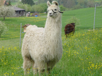 Lamas sind Pflanzenfresser