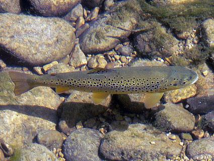 truite de rivière (fario)