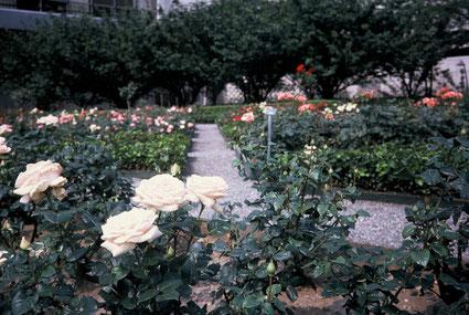 国連 裏庭 世界各地からのバラ 散歩の楽しみ