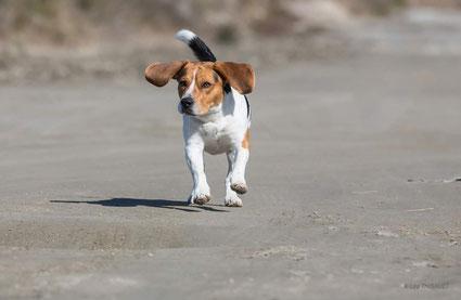 Mélo, beagle de deux ans