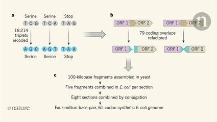 Génome artificiel : 61 codons, 4 millions de paire de bases