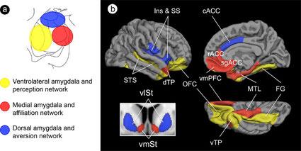 Schéma topographique des sous-régions d'amygdale et de leurs réseaux affiliés à grande échelle desservant la cognition sociale.