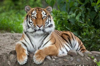 Le premier cas américain d'un animal testé positif au COVID-19 était un tigre dans un zoo de New York.