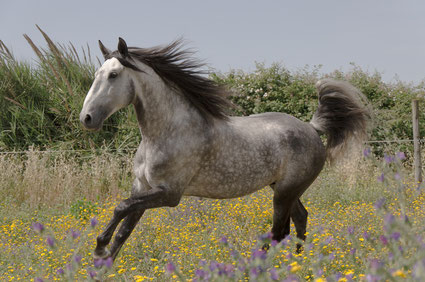 Your Lusitano horse