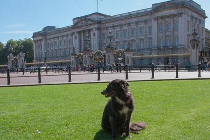 Hund sitzt vor Buckingham Palace