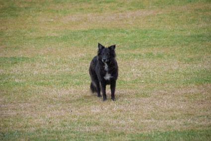 Hund auf grüner Wiese, Hyde Park, London