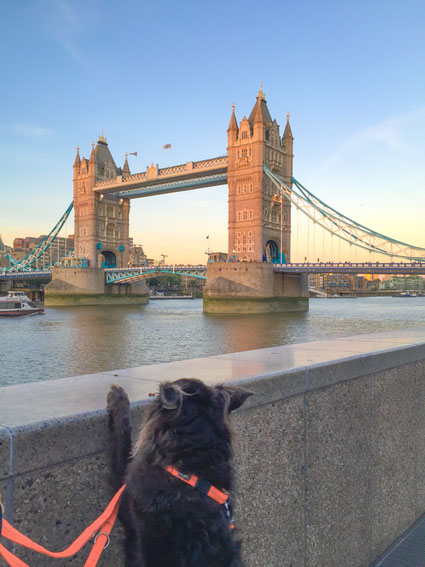 Hund stellt sich an Mauer am Queen's walk auf und schaut auf London Tower Bridge.