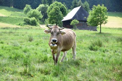 Kuh im Schwarzwald