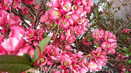Ein Traum - das dunkelrosa Blütenmeer dieser Apfelquitte - aufgenommen Mitte April 2021 von Carola Hauf