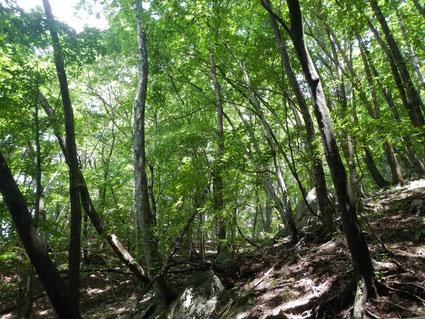 形成途中の天然林