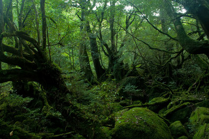 屋久島の原生林