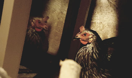 Huhn Lucinda in Selbstisolation