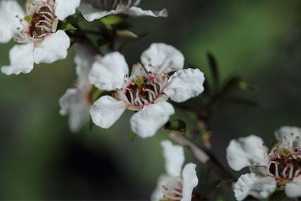 Fleurs de Manuka Leptospermum Scoparium