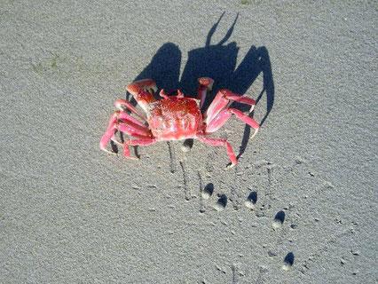 Geisterkrabbe, den Strand mit allerlei Kügelchen fotogen verzierend