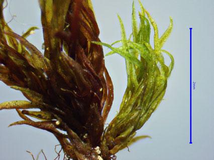Ulota coarctata Seitenspross