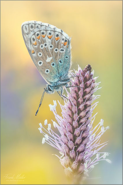 Hauhechel -Bläuling (Polyommatus icarus)