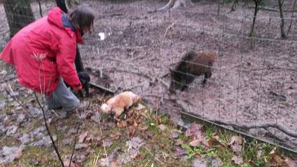 Begegnung der schweinischen Art