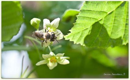 Wildbiene - Zaunrüben-Sandbiene - Andrena florea