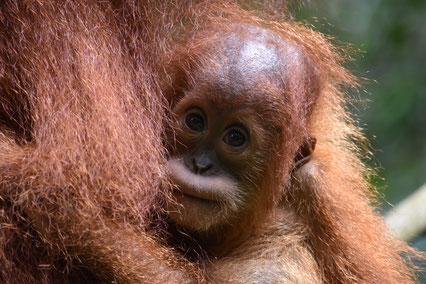 baby-orang-utan-bukit-lawang-sumatra