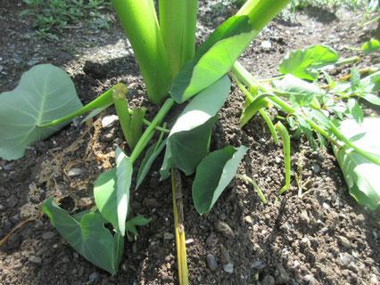 今年は新芽を踏みつけるのではなく、ハサミで切っています。