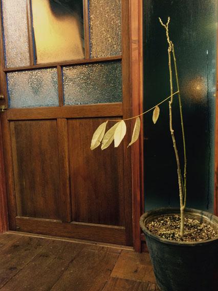 ムクロジの木は今年ももうすぐただの棒になります。