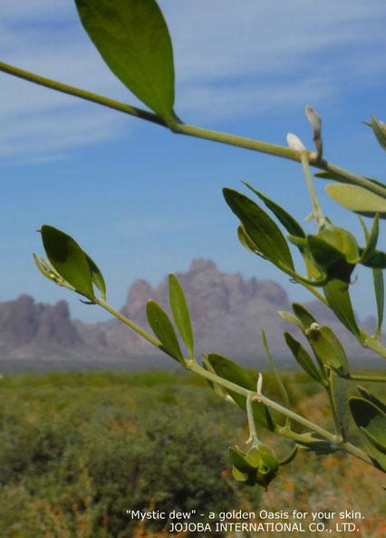 ❦ Jojoba original species, Orange Desert Globemallow and Brittlebush