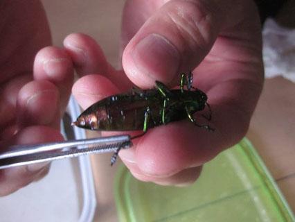 昆虫標本の虫の関節を柔らかくする方法
