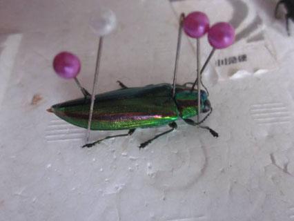 昆虫標本の形の整え方