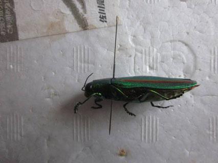 昆虫標本の針の打ち方