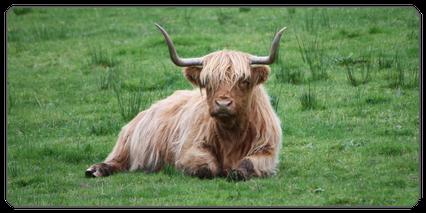 Mein BioRind | Rinderrassen Schottisches Hochlandrind