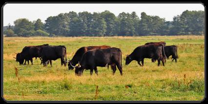 Mein BioRind | Rinderrassen Auerochse