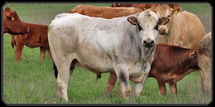 Mein BioRind | Rinderrassen Piemonteser