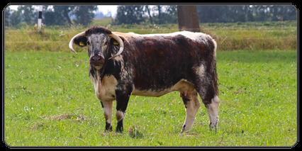 Mein BioRind | Rinderrassen English Longhorn