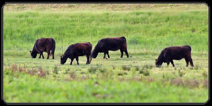 Mein BioRind | Rinderrassen Galloway