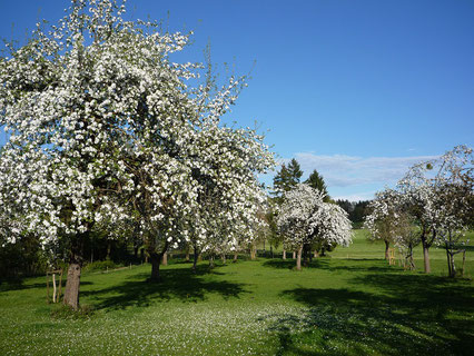 Streuobst für Obstbrennerei Bodensee