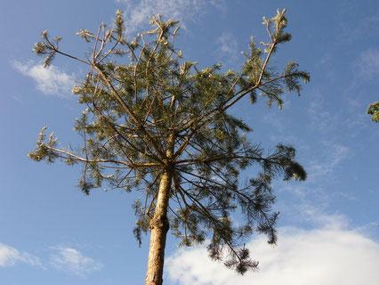 The pine of hope! / 希望の松!
