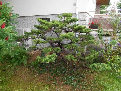 Taille Niwaki -année 1- sur arbuste à Perrigny dans le Jura (39)