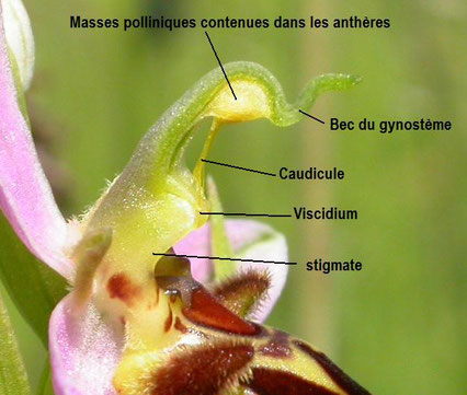 organes reproducteurs d'un Ophrys apifera