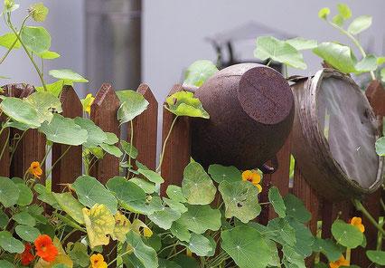 Bild: Gartenzaun, Rankblumen, Dekoration, Brunnenkresse