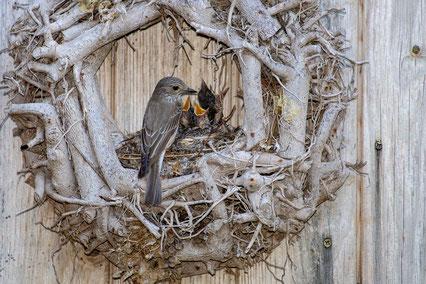 Grauschnäpper Türkranz Jungvögel füttern