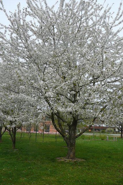 Kirschbaum im Lehrgarten, im Hintergrund Bebauung Jahnstraße