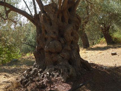 Olvenbaum am Golf von Edremit