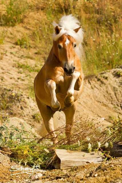 Top Horse of the Year Gewinner 2012 Haflinger Stargate