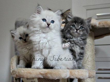 Cuccioli Disponibili Gatto Siberiano Allevamento Gatto Siberiano