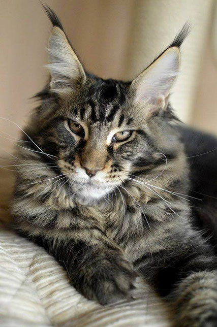 EuroCoons Maine Coon cat eyes