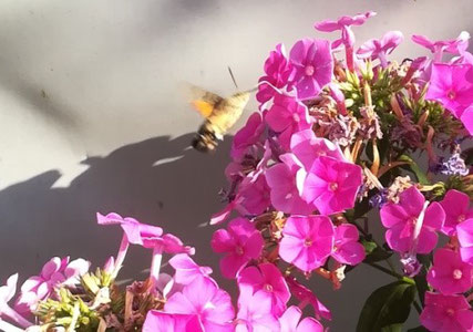 Taubenschwänzchen an Blume