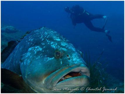 Mérou Brun de Méditerranée, plongeur sousmarin