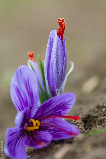 Fleurs de safran au Safran de Cotchia. Visite guidée.Photo Léonard Eric
