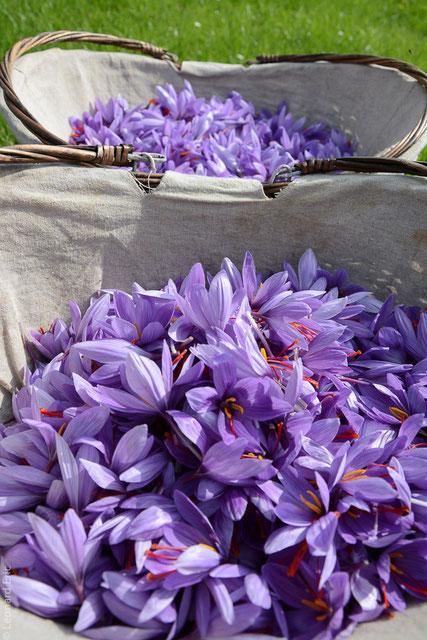 Paniers de fleurs de safran. Floraison cueillette, Safran de Cotchia.Photo Léonard Eric