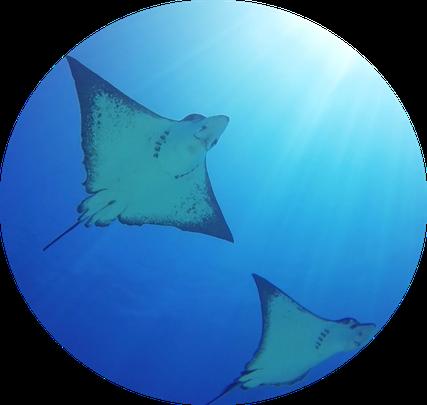 School of eagle rays are often observed in the lagoon of Bora Bora.